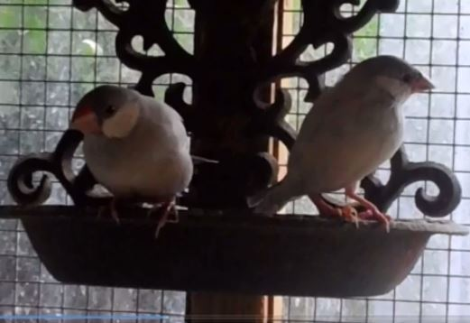 Silver Java Finches