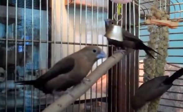 Silverbill Finches