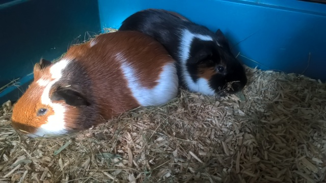 Chip And Dale The Rescue Guinea Pigs