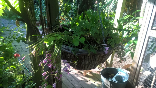 Valerian, Pink Shamrock And Herb Robert Hanging Basket