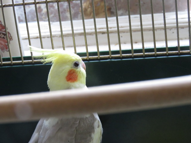 Pichu The Cockatiel