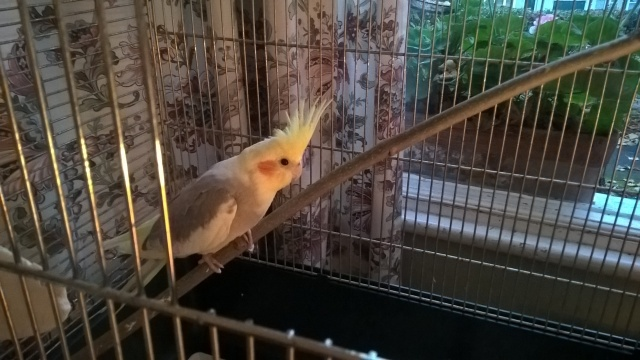Pichu The Cockatiel Sitting On A Perch