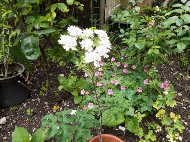 My Meadowsweet Plant Last Summer